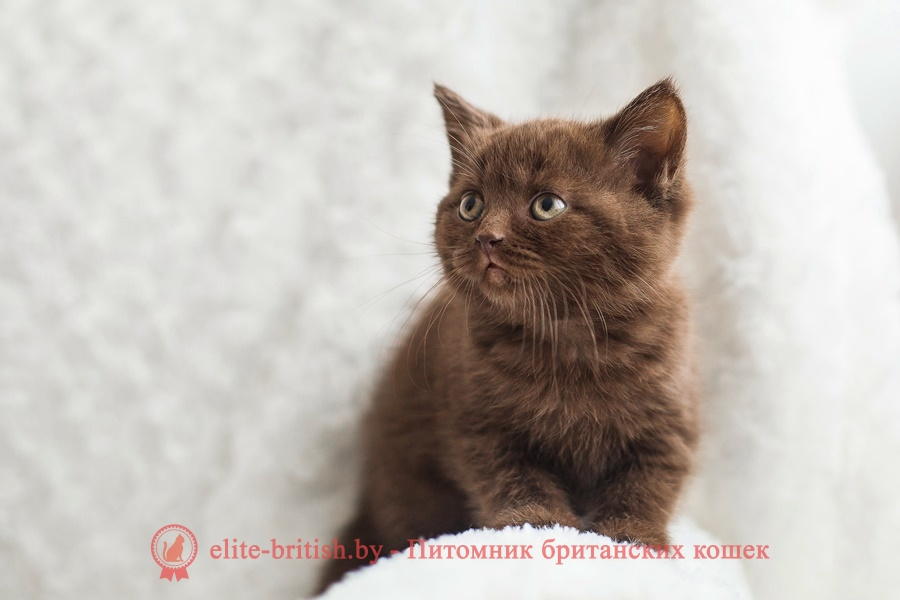 Шоколадный британский котенок Monika (Моника)