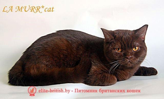 Британская кошка шоколадного окраса Норка