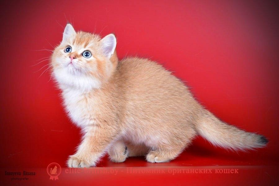 Британский котенок золотого окраса Gracie GOLDEN EYES*BY (Грейси)