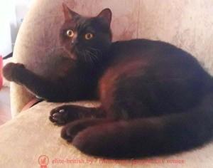 Британская кошка Penelope Vitorio (BRI b)