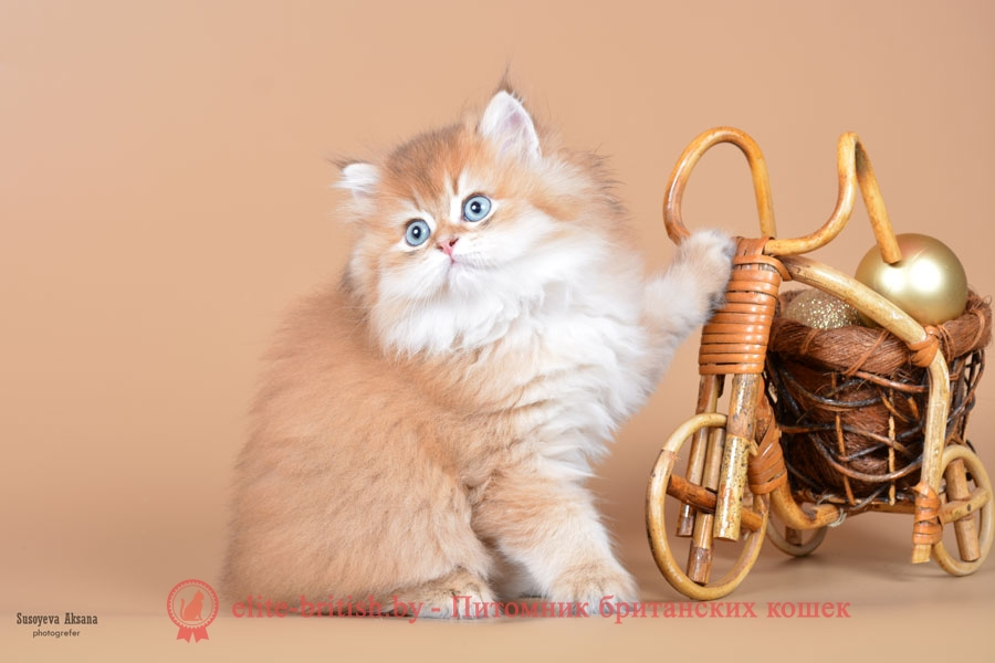 Британский котенок золотого окраса Graf GOLDEN EYES (Граф)