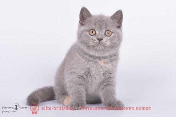 Британский котеонок Шиллен (Shillen) голубо-кремовый окрас