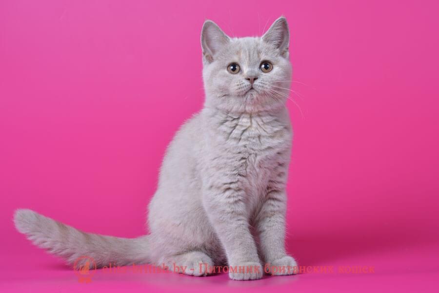 Британский котенок Шая (Shae) лилово-кремовый окрас