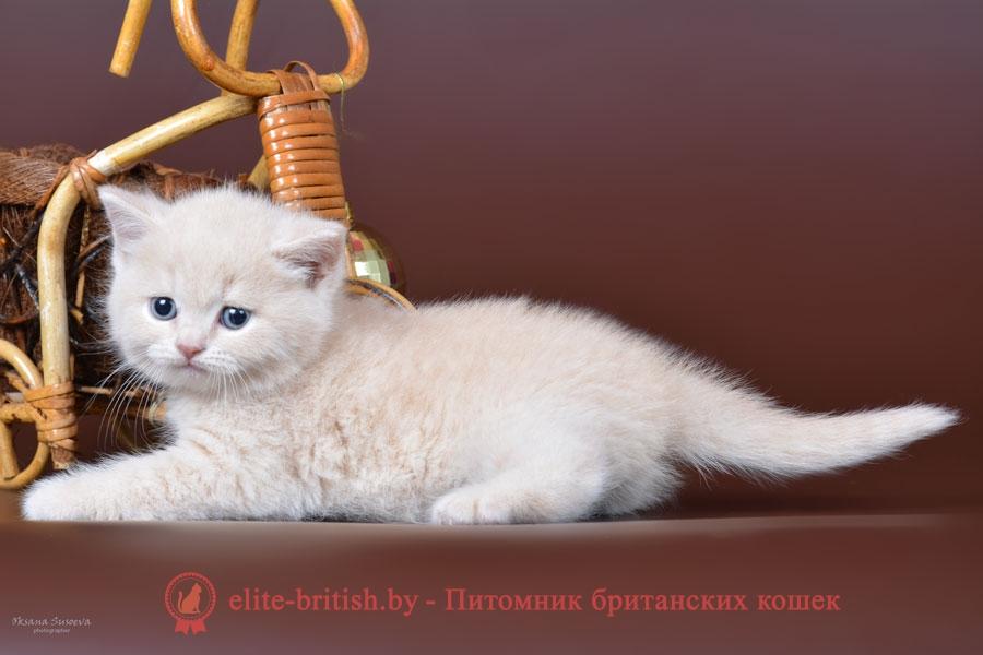 Британские кремовые котята