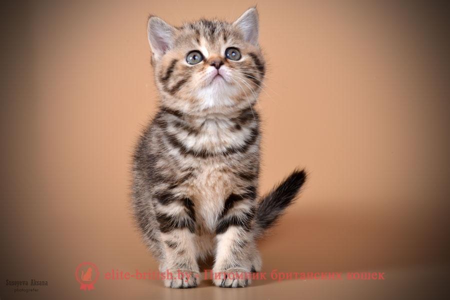 Британский котенок Jessica (Джессика) черного мраморного окраса
