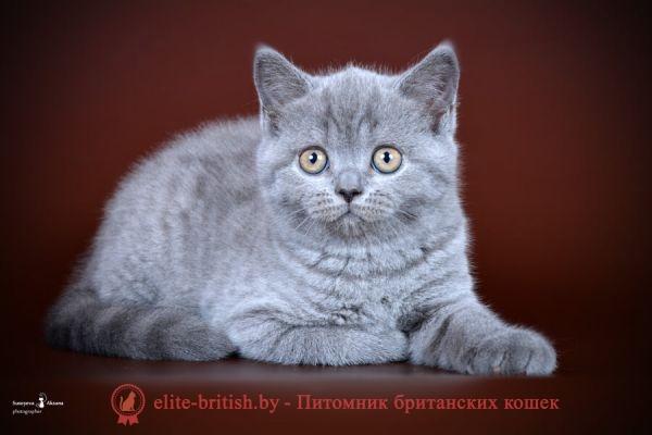 Британский котенок Shiva (Шива) голубой окрас