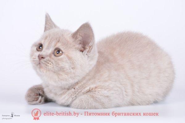 Британский котеонок Шая лилово-кремовый окрас