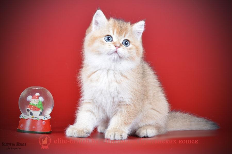 Британский котенок золотого окраса Glorija GOLDEN EYES*BY (Глoрия)