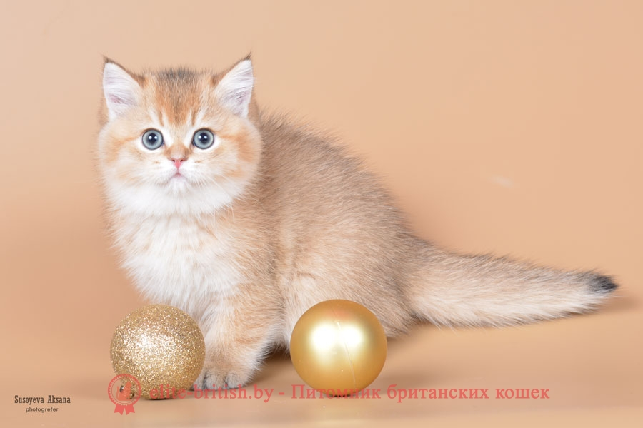 Британский котенок золотого окраса Glorija GOLDEN EYES*BY (Глoрия)