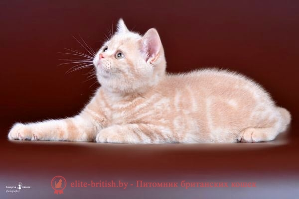 Британский котенок Sheridans (Шериданс) кремового окраса