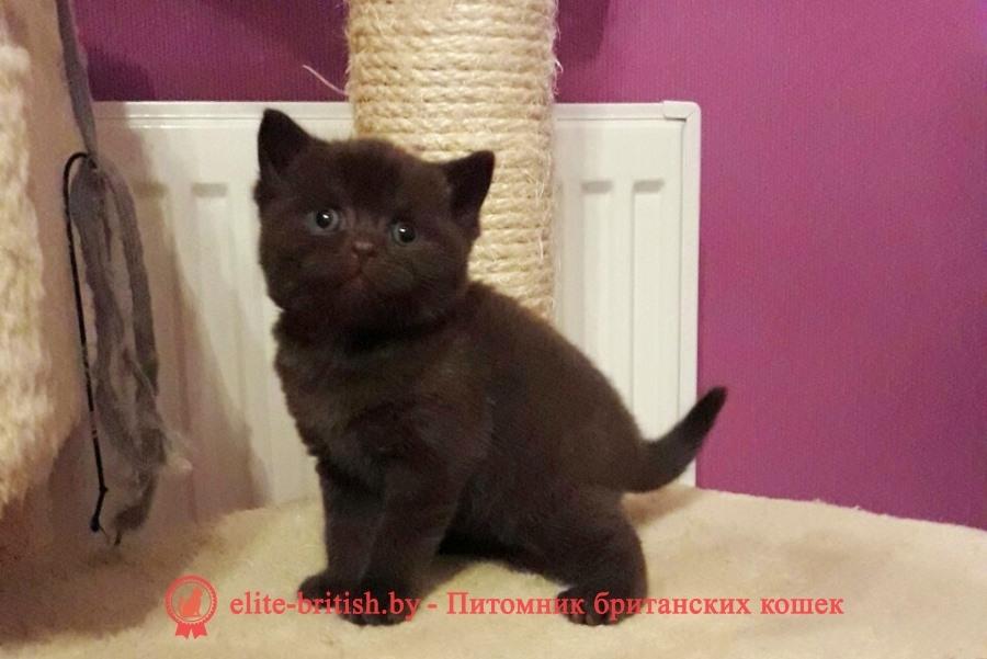 Шоколадные однотонные британские котята