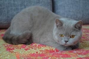 Кошка-лиловая