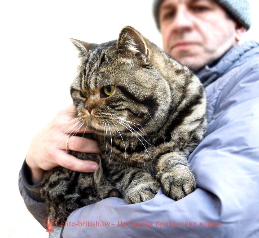 Британский котик черного леопардового окраса