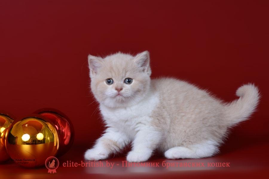 Британский котенок кремовый биколор, девочка Nevada (Невада)