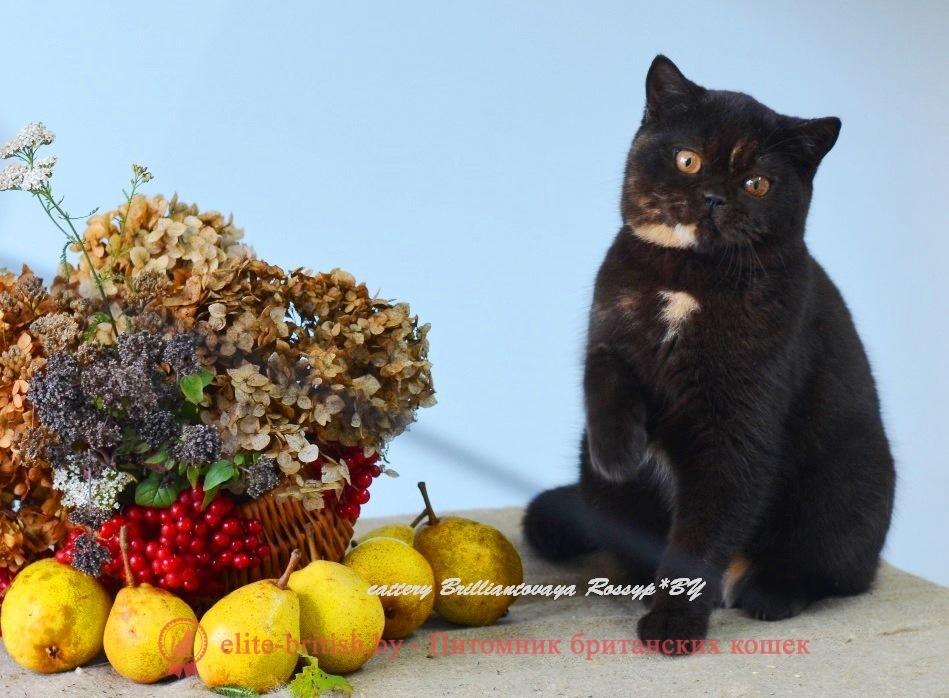 Британская кошка Джакарта черного черепахового окрасаБританская кошка Джакарта черного черепахового окраса
