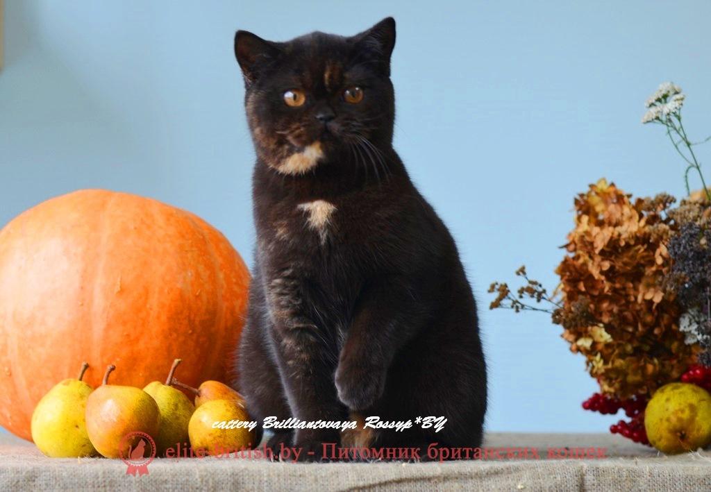 Британская кошка Джакарта черного черепахового окраса