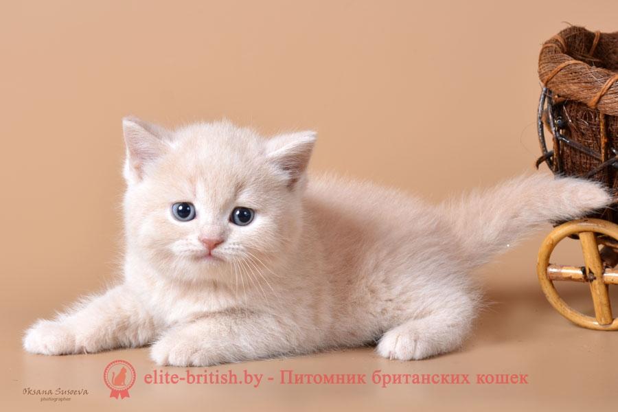 Британский котенок кремовый, мальчки Nafanja (Нафаня)