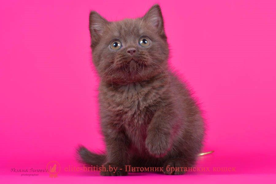 Британский шоколадный котенок Кристофер