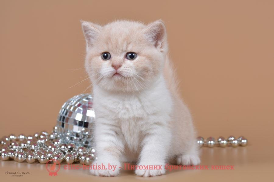 Британские котята кремовые биколоры