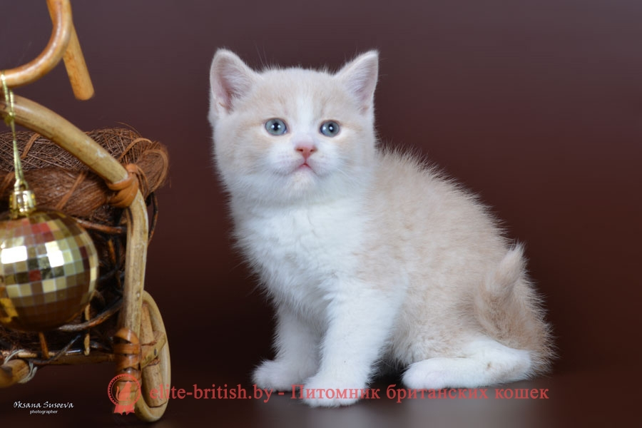 Британский котенок кремовый биколор, мальчик Nil (Нил)