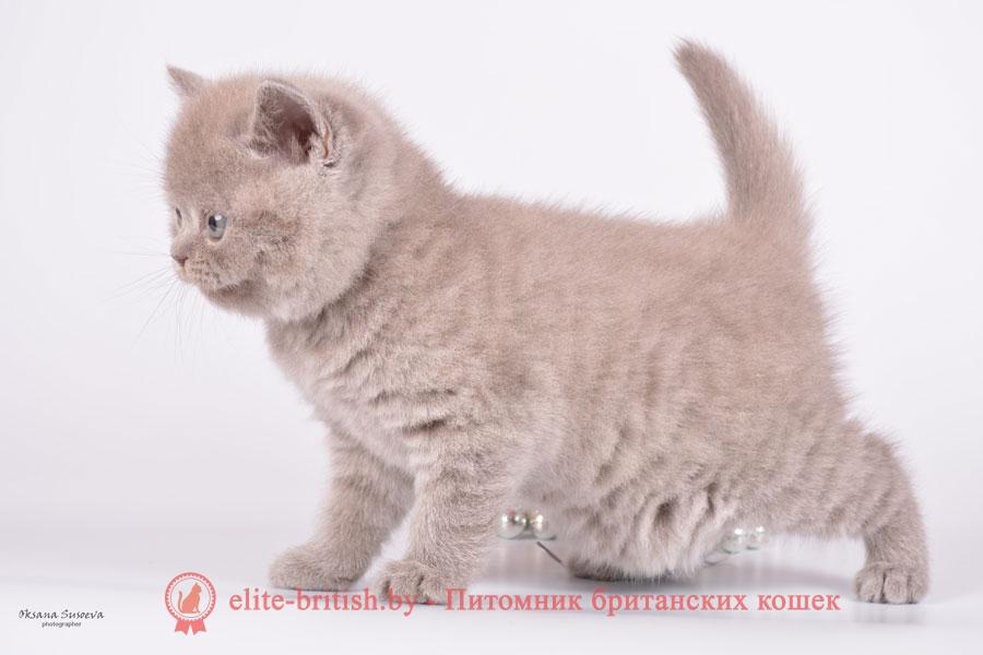 Голубые и лиловые британские котята мальчики