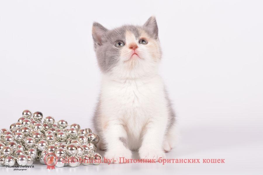 Британский котенок Ника, окрас калико (триколорный, голубо-кремовый биколор)
