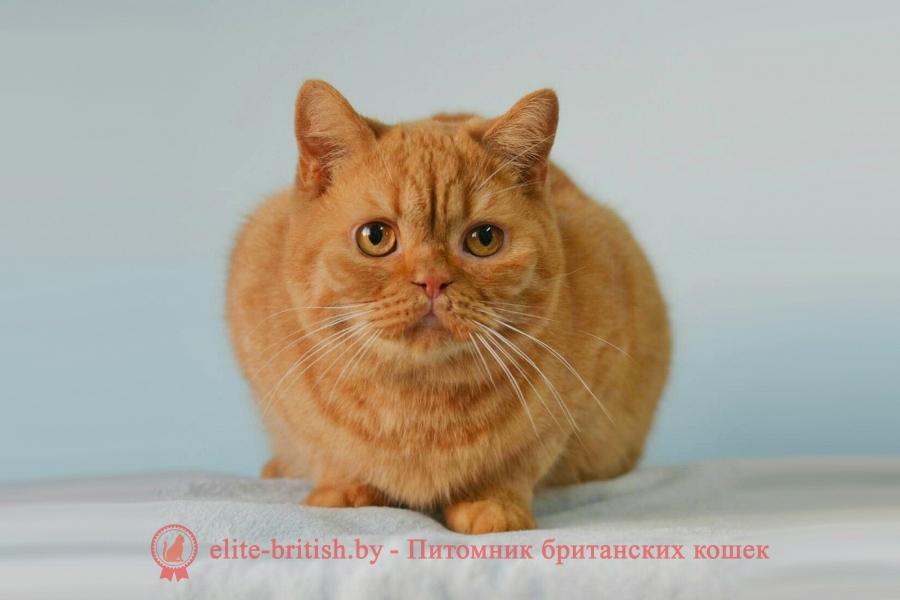 Британский кот Федор красного (рыжого) окраса
