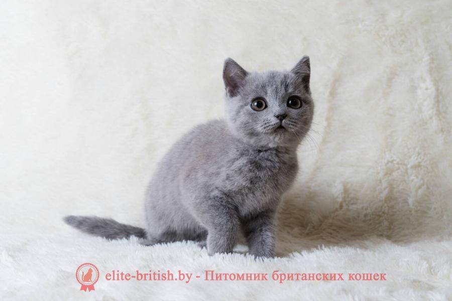 Кошечка Босния, британский котенок голубого окраса