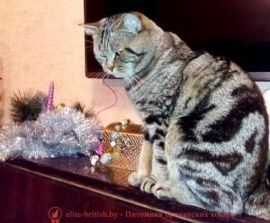 Британский кот черный мрамор