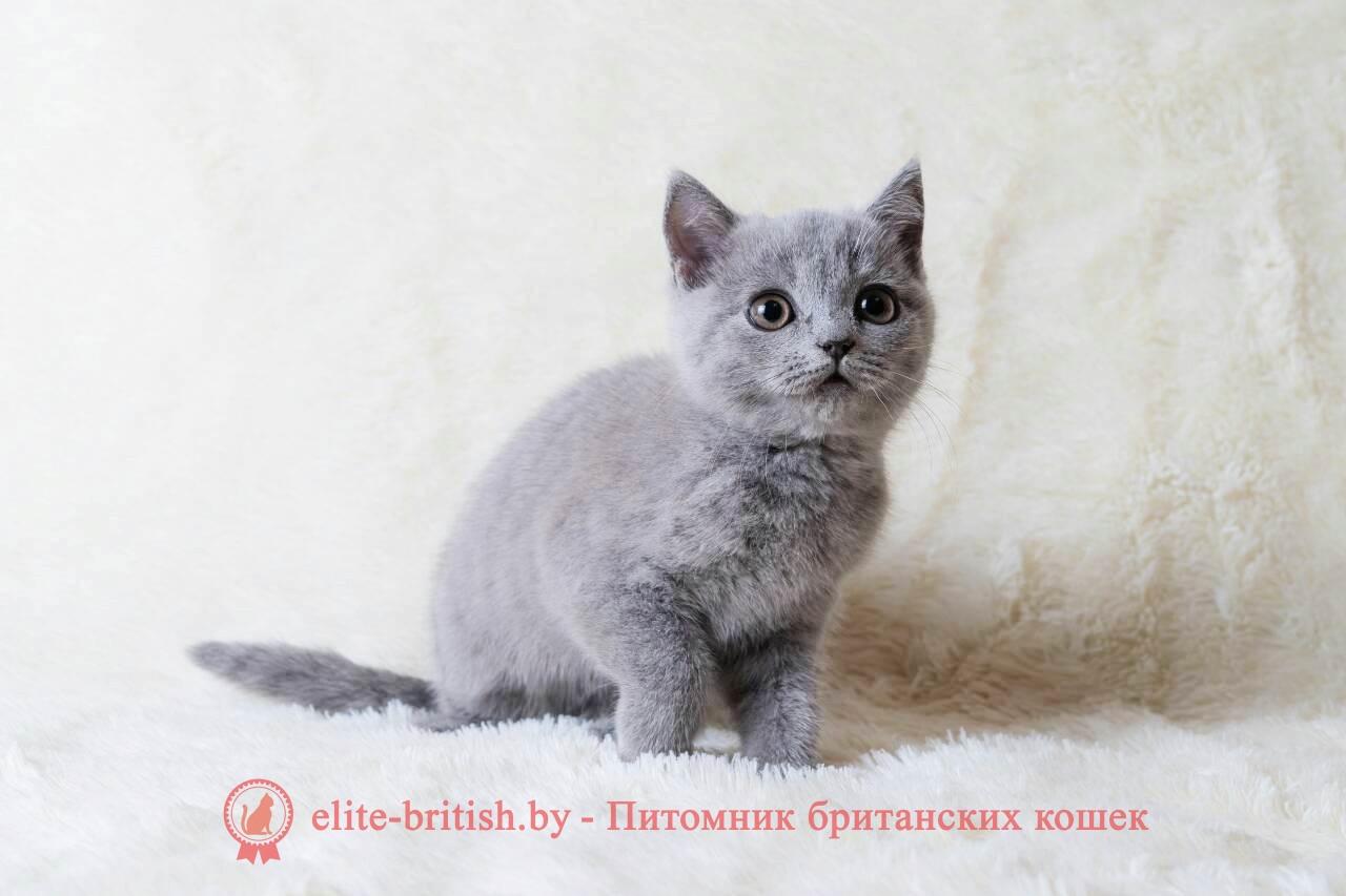 Кошечка Барселона, британский котенок лилового окраса