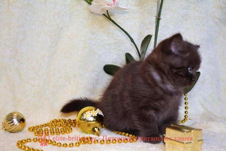 Британский котенок, девочка шоколадного окраса, помет 09.01.2018
