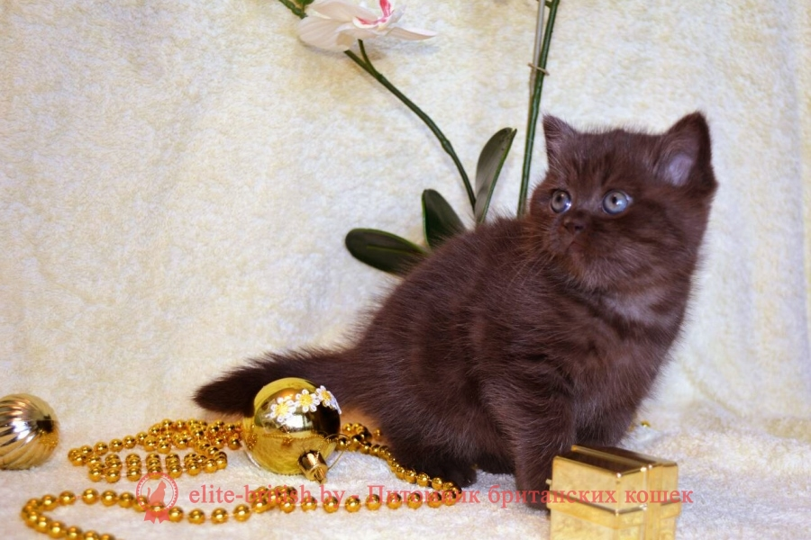 купить британского котенка, купить британца, британский кот мраморный, мраморный британец, мраморный окрас британских котят, британский кот мраморного окраса, мраморный окрас британской кошки, британец мраморного окраса, котята британцы мраморный окрас, мраморный окрас британских котят, серебристый мраморный британец, британская мраморная кошка характер, британский кот мраморного окраса, британец голубой мрамор, британец черный мрамор на серебре, красный мраморный британец, британская мраморная кошка, мраморный окрас британской кошки, британские кошки черный мрамор, мраморная британская короткошерстная кошка, британские кошки мрамор на серебре, британский кот черный мрамор, британский кот мрамор на серебре, британский мраморный котенок, британские котята мрамор, британские котята мрамор на серебре, британский котенок черный мрамор, британец мрамор, британец мрамор на серебре, британец мраморный кот, британец мраморного окраса, черный мраморный британец, черный мрамор британцы, мраморный вислоухий британец, котята британцы мраморный окрас, мраморные британцы котята, британские котята мраморного окраса фото, мраморный британец фото, мраморная британская кошка фото, британские кошки мраморного окраса фото, британские коты мраморные фото, британские котята фото мраморные, британцы мрамор на серебре фото, кот британец фото мраморный, британцы мраморный окрас фото