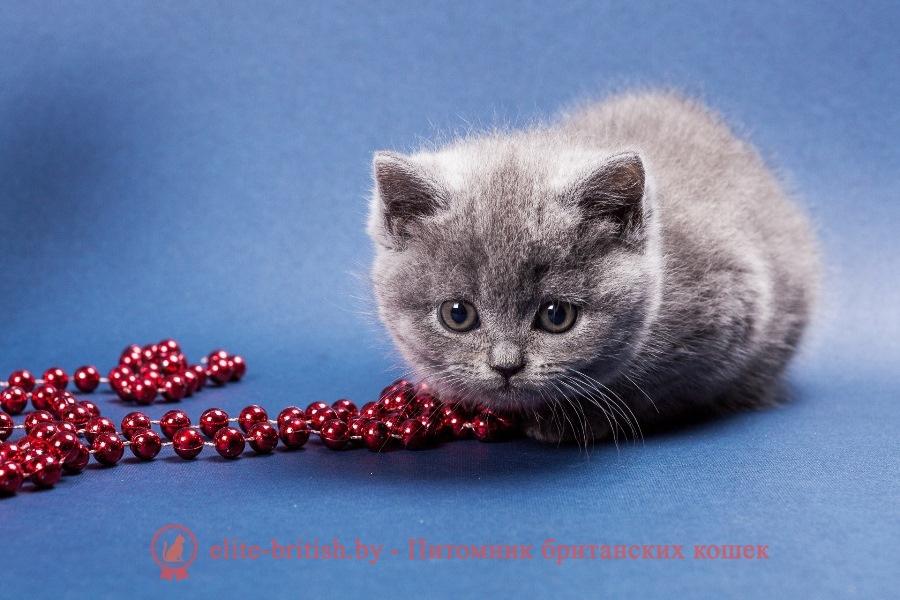 Голубые британские котята, помет от 22.11.2017