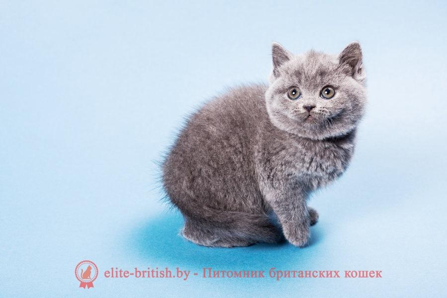 Купить британского котенка голубого окраса в Минске в питомнике с доставкой! Документы и прививки