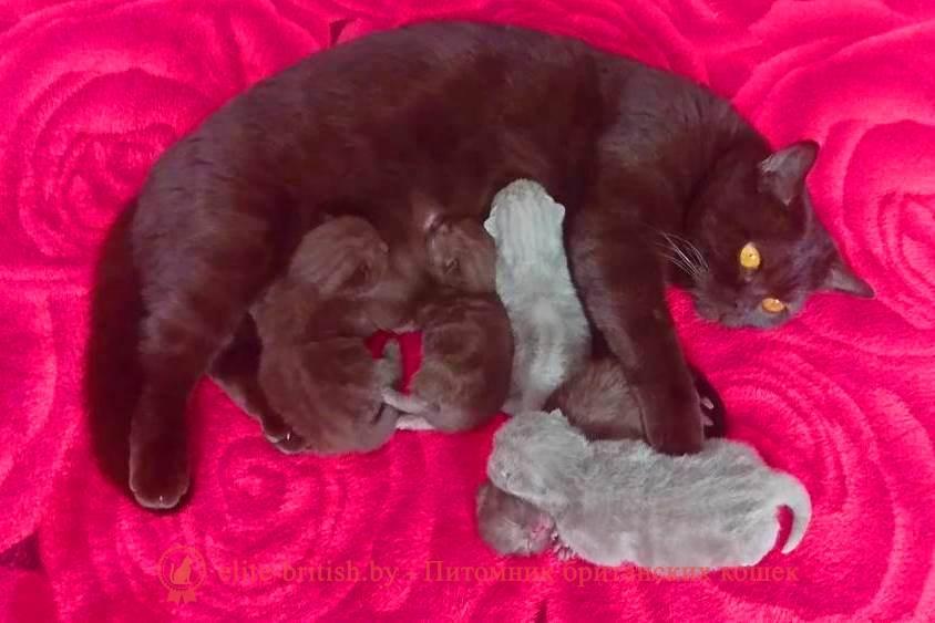 Британские котята шоколадного и лилового окраса