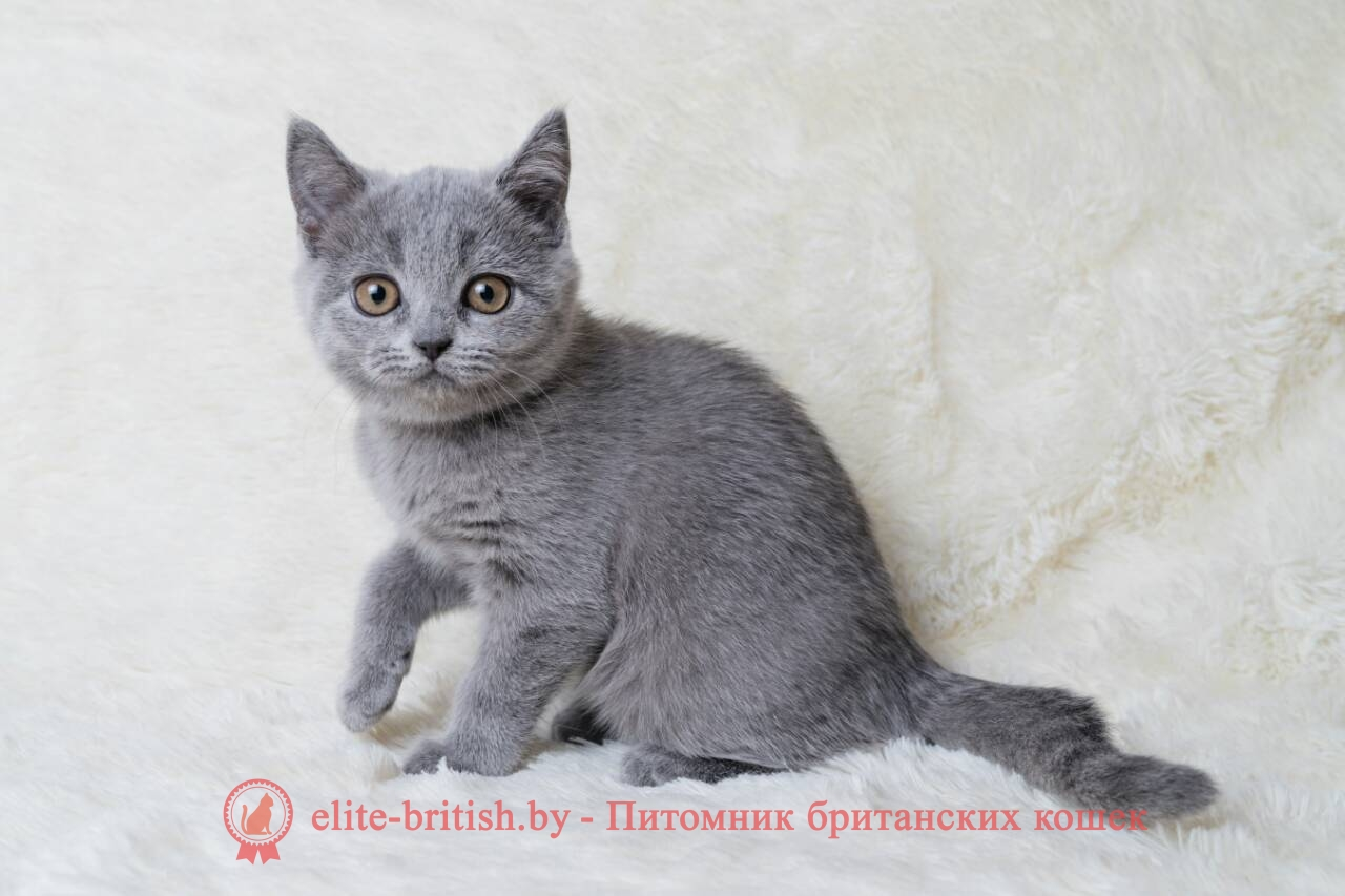 Голубой британский котенок, девочка Bosnija (Босния)