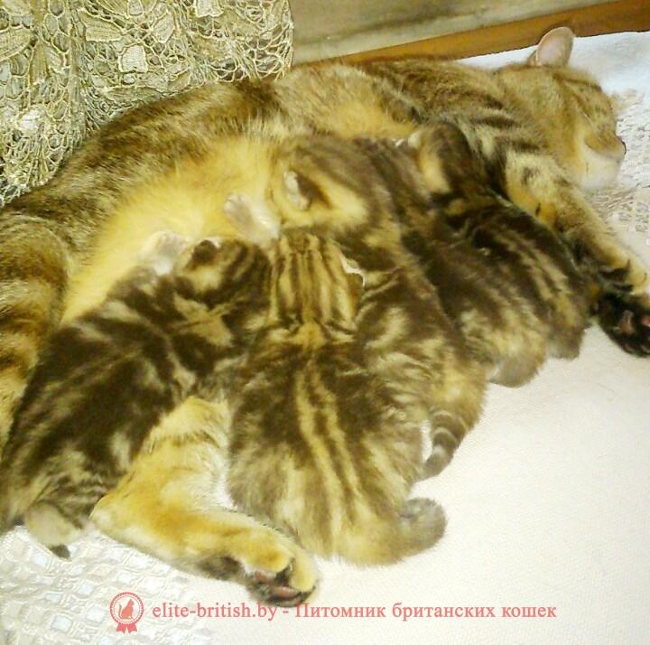 Британские котята шоколадного мраморного окраса