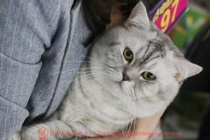 Британский кот CH. LEON L'AMOUR DE MA VIE (BRI ns 24)