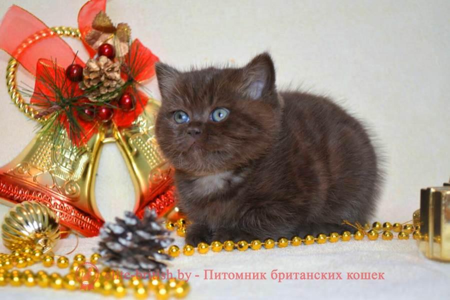 Британский котенок в подарок 86