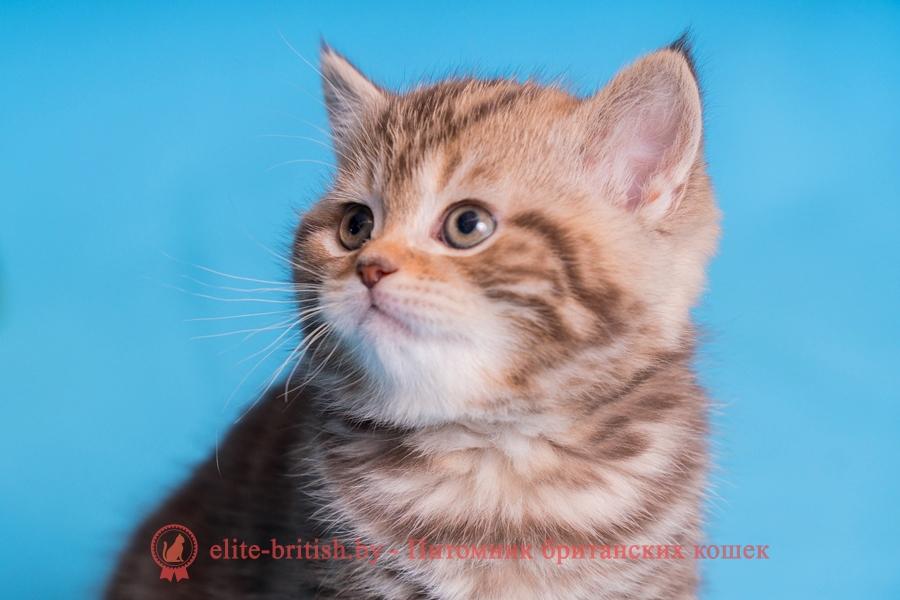 Британский котенок шоколадного мраморного окраса, помет от 03.01.2018