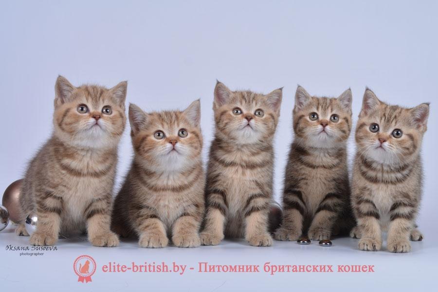 Британские котята шоколадного мраморного окраса, девочки
