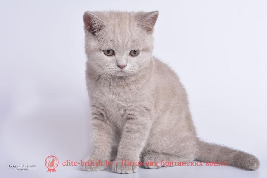 Британский котенок лилового окраса Ивар, помет 17.01.2018
