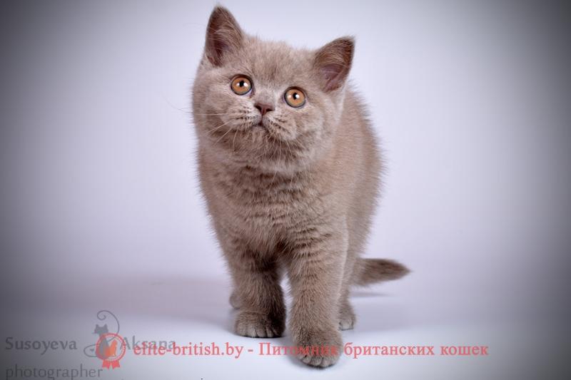 Лиловые британские котята мальчики, помет от 22.11.2017