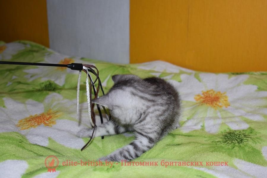 Британский котенок Пепси, серебристый черный пятнистый окрас