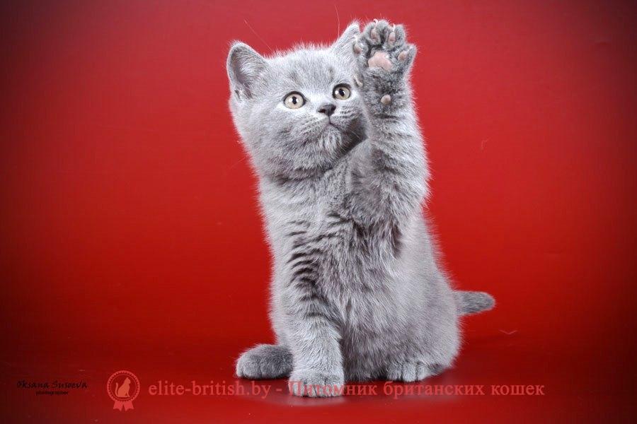 Британский котенок голубого окраса Diamond (Даймонд), помет 23.12.2017