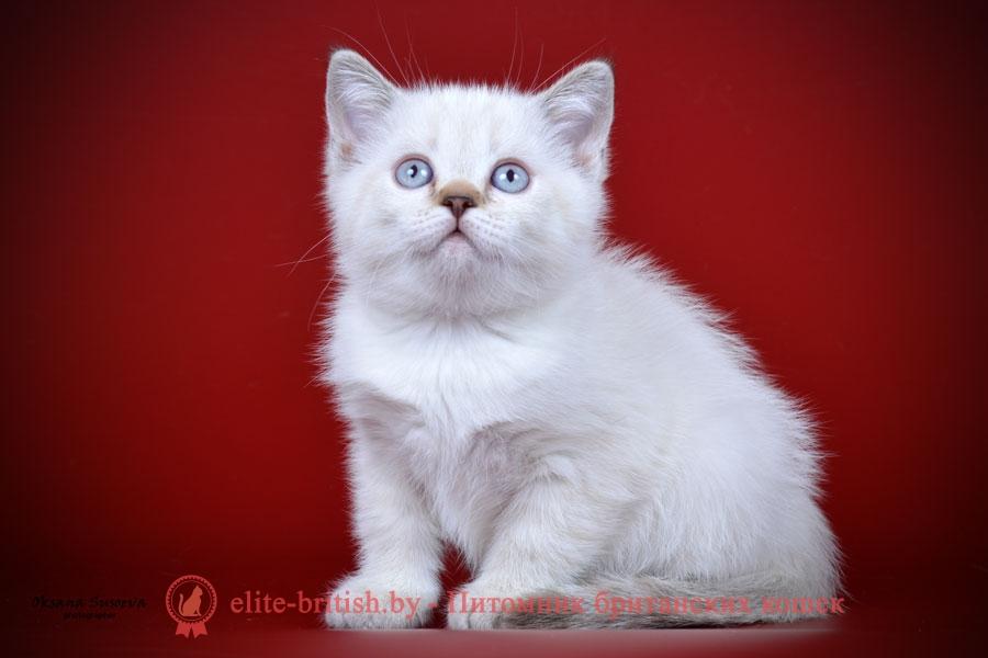 Британский котенок пойнт-окраса Frank (Франк)