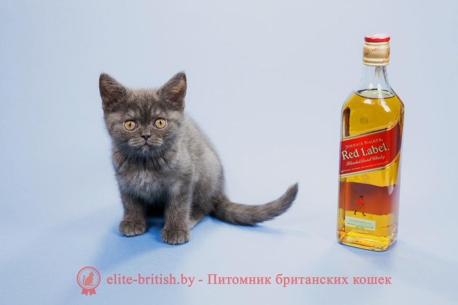 Британский котенок голубой дымчатый