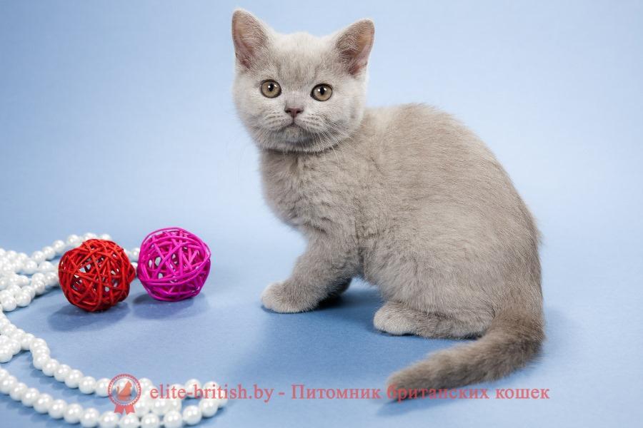 Лиловые британские котята девочки, помет от 22.11.2017