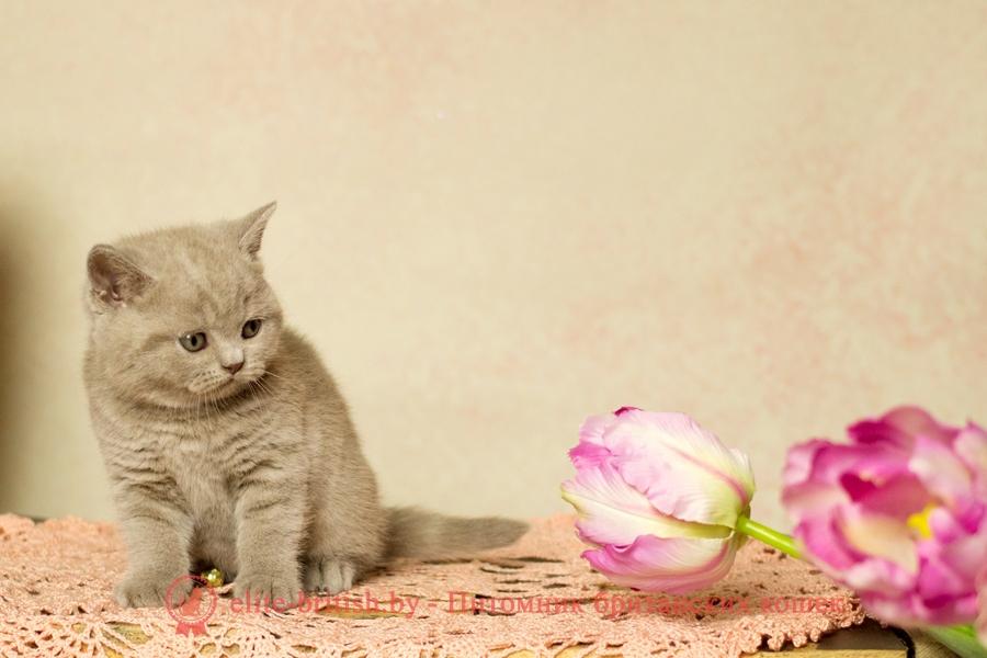 купить британского котенка, купить британца, лиловый британец, британец лиловый фото, фото лиловых британцев, британский лиловый котенок, британские коты лилового окраса фото, фото лиловых британских котят, британские котята фото лиловые, британская кошка фото лиловая, фото лиловой британской кошки, британские котята лилового окраса фото, лиловая британская кошка, британский лиловый кот фото, британские котята лилового окраса, лиловый окрас британских кошек фото, лиловый британский кот, кот британец лиловый фото, лиловый окрас британских кошек, британцы лилового окраса, британец лилового цвета, британец лилового окраса фото, лиловые британцы вислоухие фото, британская короткошерстная кошка лиловая, лиловый цвет британских кошек, британская лиловая кошка характер, британские котята лилового цвета, британские вислоухие котята фото лиловые, котята британцы лиловые фото, британский кот лилового окраса, британский вислоухий кот лиловый, британские котята лиловые купить, британские лиловые котята цена, купить лилового британца, лиловые британцы котята, британцы коты лиловые