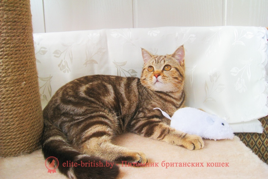 Британские котята окраса шоколадный мрамор, помет 09.01.2018